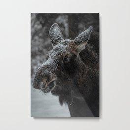 Moose Calf Metal Print