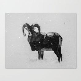 Corsican Sheep (B&W) Canvas Print