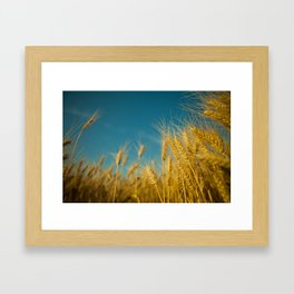 Yellow wheat Framed Art Print