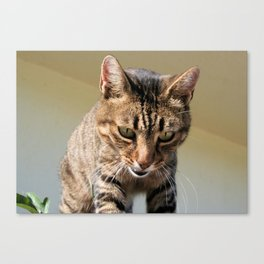 Tabby Cat Looking Down From A Height  Canvas Print