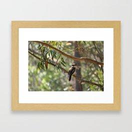 Kookaburra sitting in a gum tree Framed Art Print