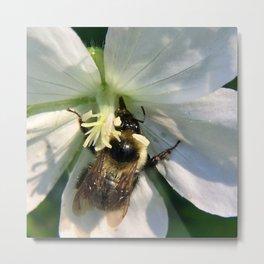 Dancing bee on white flower Metal Print