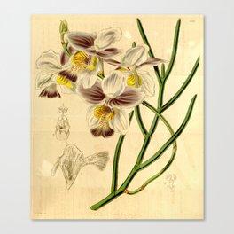 Papilionanthe teres (as syn. Vanda teres) Canvas Print