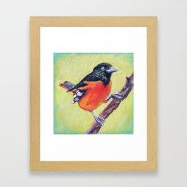 Baltimore Oriole Framed Art Print