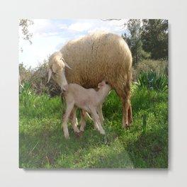 Lamb Suckling From An Ewe Metal Print