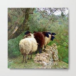 Baa Baa Blue Sheep Metal Print