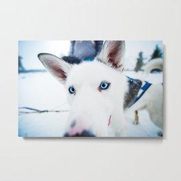Blue-eyed husky dog Metal Print