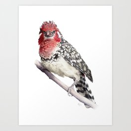 Red-and-yellow Barbet Art Print