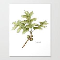 Pin Oak Canvas Print