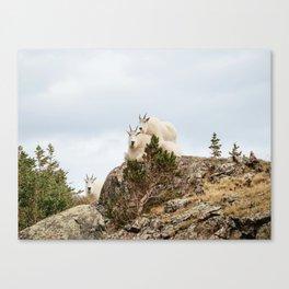 Three Ami-Goats // Scenic Hike Animals Photograph Colorado Wildlife National Park Mountain Goats Canvas Print