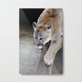 Cougar on a tree branch Metal Print