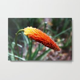 Colours of Nature - Kniphofia  Metal Print
