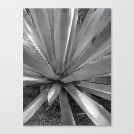 Agave Cactus, warm day, Canvas Print