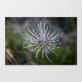 Queen Anne's Lace Skeleton Canvas Print