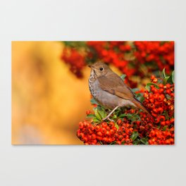 Hermit Thrush on the Scarlet Firethorn Canvas Print