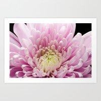 Pink Chrysanthemum In Bloom Art Print