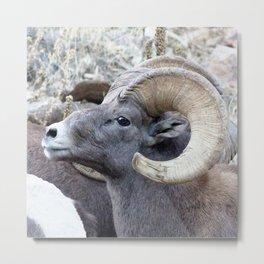 Watercolor Sheep, Bighorn Ram 16, Drake, Colorado Metal Print