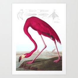 Flamingo Vintage Scientific Bird Illustration Art Print
