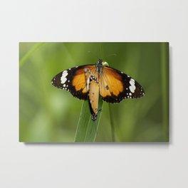 Lesser Wanderer Butterfly Metal Print