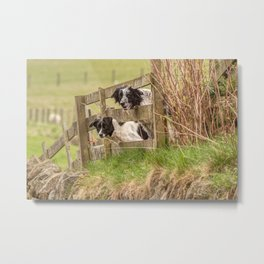 Countryside farm sheep dogs Metal Print