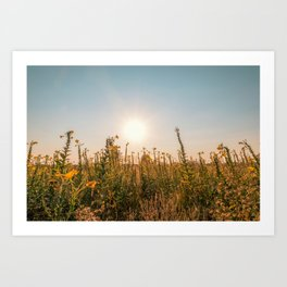 Uncultivated field in the Lomellina countryside at sunset full of yellow flowers Art Print