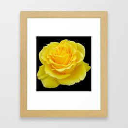 Beautiful Yellow Rose Flower on Black Background Framed Art Print
