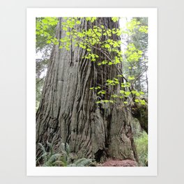 New Leaves in Front of an Old Redwood Art Print
