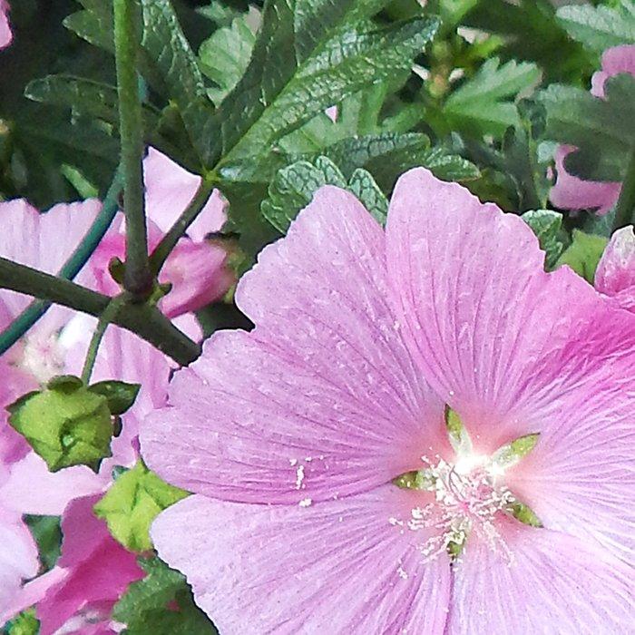 Pink Musk Mallow Bush in Bloom Leggings