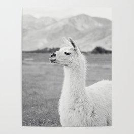 Mountain Llama Poster