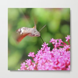 Hummingbird Hawk-moth on Valerian flower Metal Print