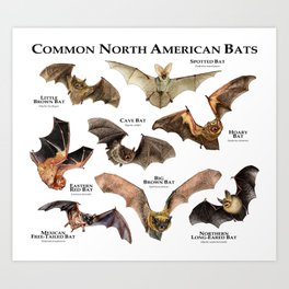 Common North American Bats Art Print
