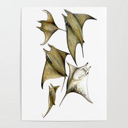 Chilean devil manta ray (Mobula tarapacana) Poster