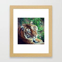 Tendre Tigre Framed Art Print