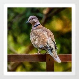 Collared Dove Art Print