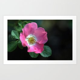 Carefree Delight Rose Art Print