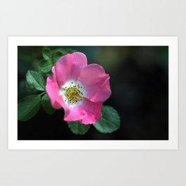 Carefree Delight Rose Art Print