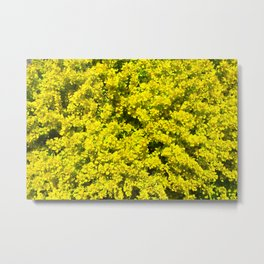 Yellow flowering Shrubs Golden Template Woadwaxen Metal Print