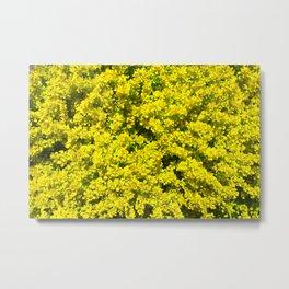 Yellow flowering Shrubs Golden Template Woadwaxen Metal Print