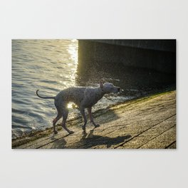 Wet dog, shaking the water of him Canvas Print