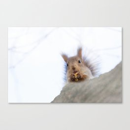 Squirrel with a walnut Canvas Print