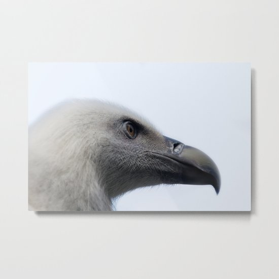 Headshot of young Griffon vulture, Gyps fulvus III Metal Print