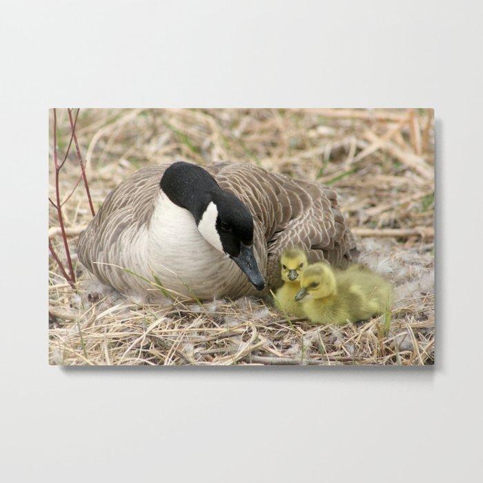 Canada Goose and Two Goslings Metal Print