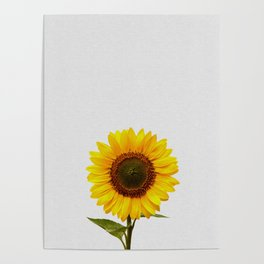 Sunflower Still Life Poster