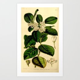 Flower 4079 ilex platyphylla Broad leaved Canarian Holly1 Art Print