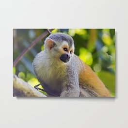 Squirrel monkey in a branch in Costa Rica Metal Print