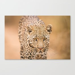 Leopard starring at you Canvas Print