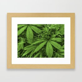 Marijuana Plants Photo Framed Art Print