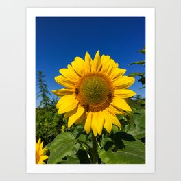 3 Bees on a Sunflower Art Print
