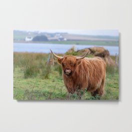 Long haired Highland cattle - Highland cow, Highlander, Heilan coo - Thurso, The Highlands, Scotland Metal Print
