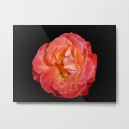 Red Rose (Rosaceae) Metal Print